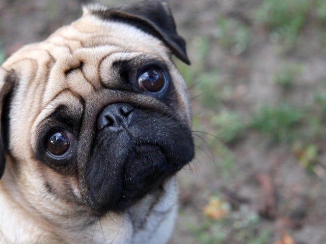 Esa mirada irresistible de tu perro evolucionó para conseguir cualquier cosa de ti