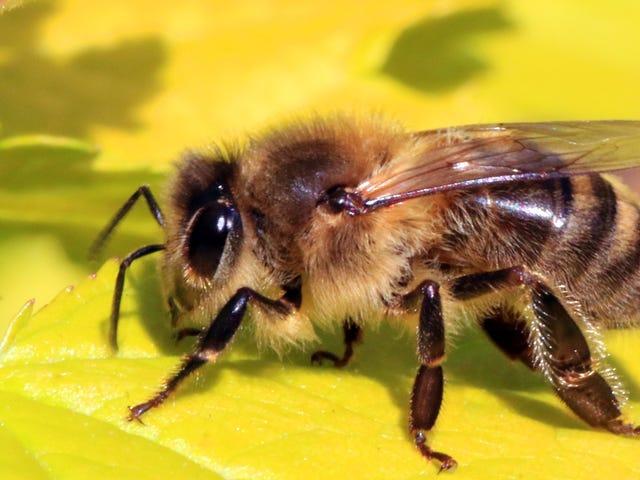 Las abejas dejaron de zumbar durante el eclipse total de sol del año pasado