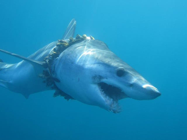 Το αλιευτικό εργαλείο «φάντασμα» αποτελεί μεγαλύτερη απειλή για τους καρχαρίες από ό, τι υλοποιήσαμε