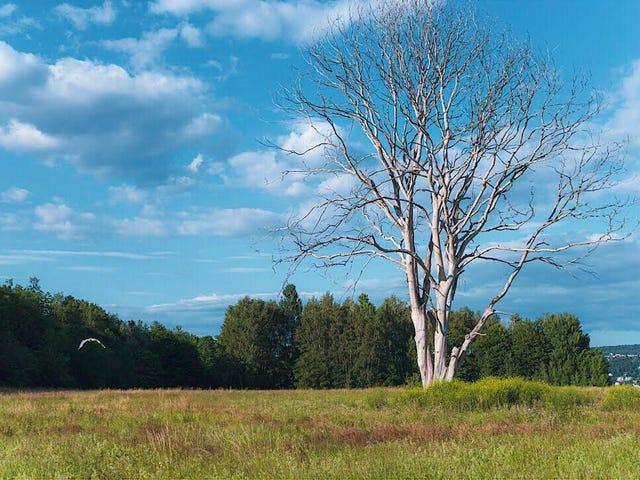 Ett häxande träd. Langøyene, Oslo, Norge