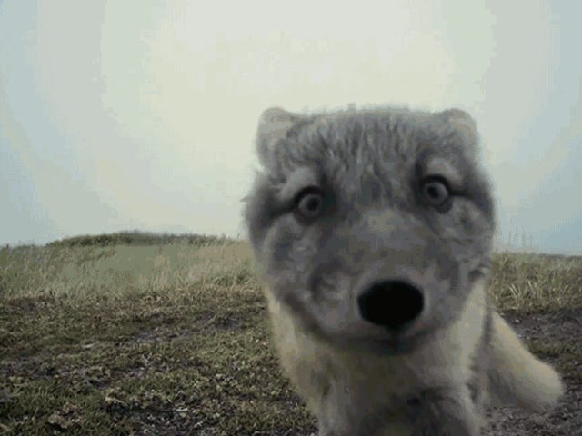 Watch a Pack of Adorable Arctic Fox Pups Destroy a Documentary Filmmaker's Camera