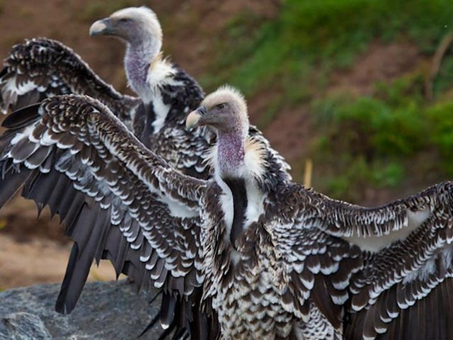 Tweet Tisdag: The Ruppell's Griffon Vulture