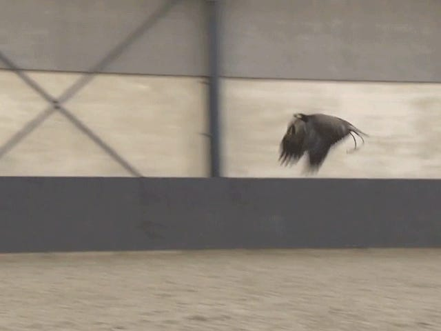 老鹰在荷兰训练捉住无人机