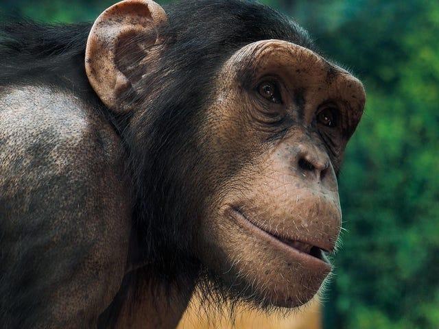Simpanse Kebun Binatang Melakukan 'Garis Conga' Bisa Mengajari Kita Bagaimana Manusia Berkembang Menjadi Tarian