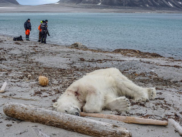 Arctic Cruise Line Staff Reportedly Shoot and Kill Polar Bear After Attack on Guard