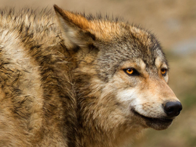A Woman Was Stalked for Twelve Hours by a Wolf Until a Bear Attacked It