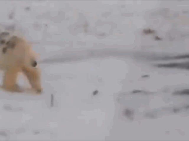 En person i svagt lys gjorde graffiti på kroppen af en isbjørn og kunne have dømt ham