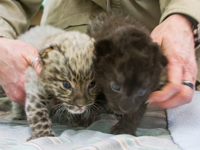 Critically-Endangered (and Dangerously Cute) Leopard Cubs Born at Connecticut Zoo