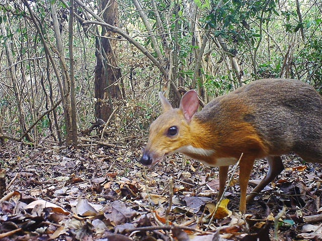 'Lost' Species of Mouse-Deer Spotted in Vietnam After 30 Years