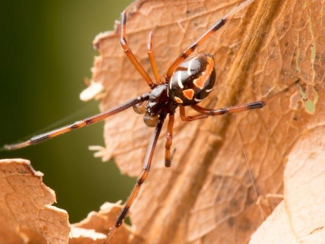 Black Widow Spiders Are Spreading Farther North Than Ever Before