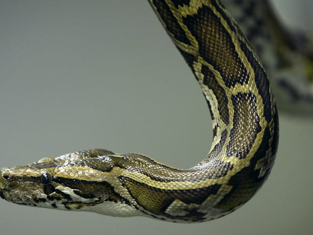 RIP to Florida's 17-Foot Pregnant Python, Murdered in Her Prime