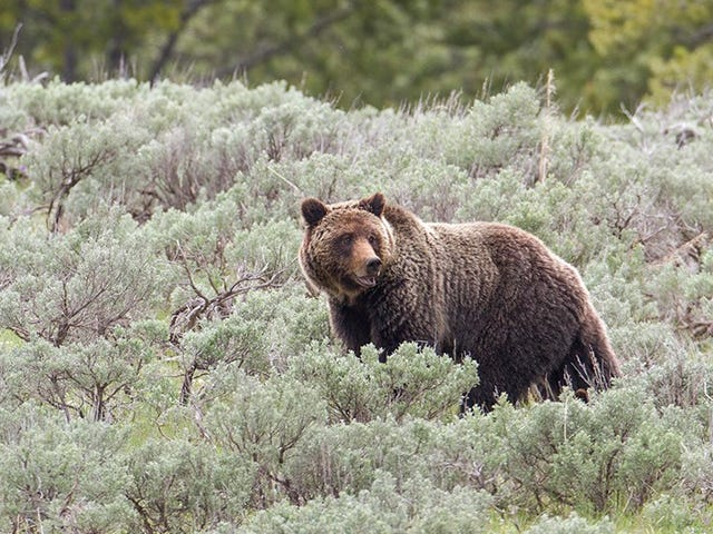 Idaho Wants to Allow the Hunting of a Single Grizzly Bear