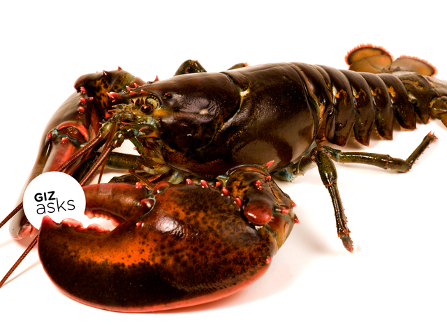 Do 'Stoned' Lobsters Really Feel Less Pain When Cooked Alive?