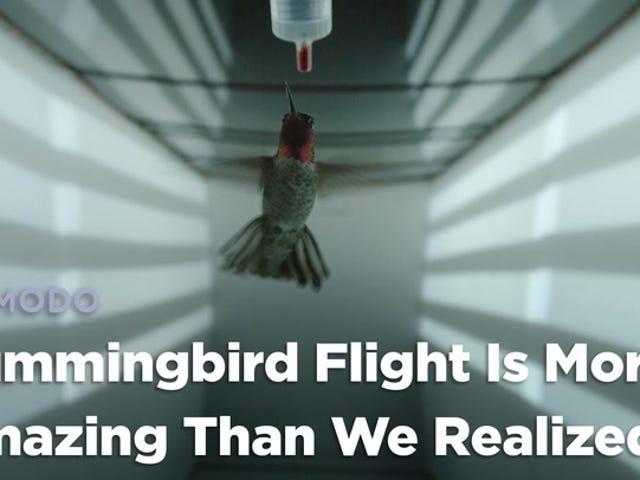 蜂鸟飞行比我们意识到的更加惊人