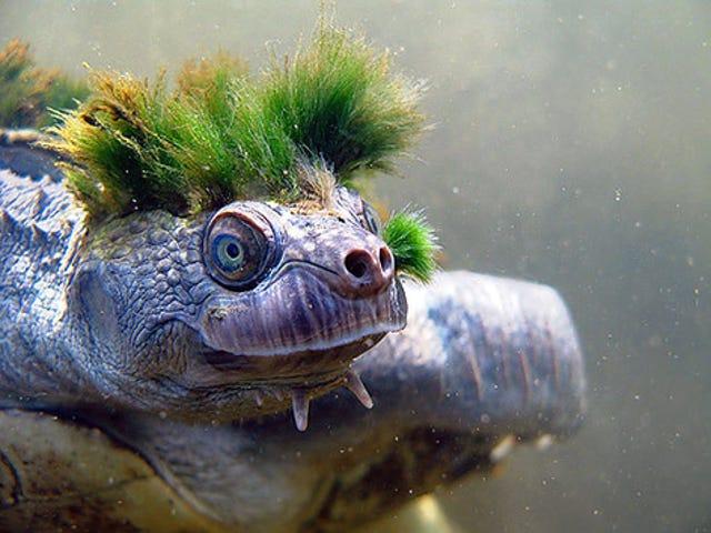 Nastoletni mutant punky żółw
