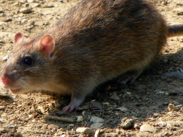 'Genius' Rats Are Flooding DC and Adapting Too Fast to Control