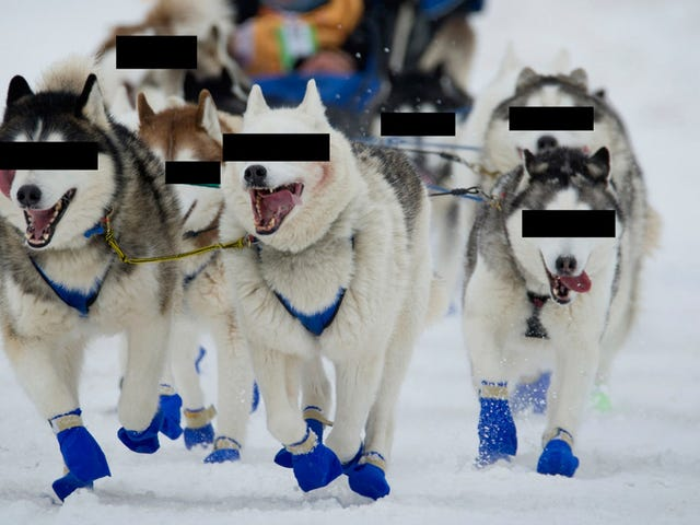No One Knows Who Doped These Sled Dogs