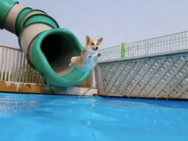 我受到了这个喜欢游泳池的柯基犬的启发