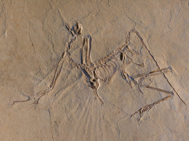 Winged Archaeopteryx Dino Could Fly—Scientists Just Don't Know How