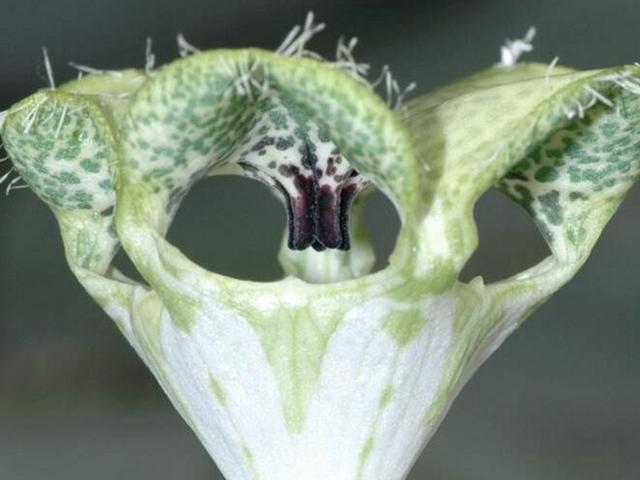 Esta planta louca tem um truque incrível para atrair as moscas