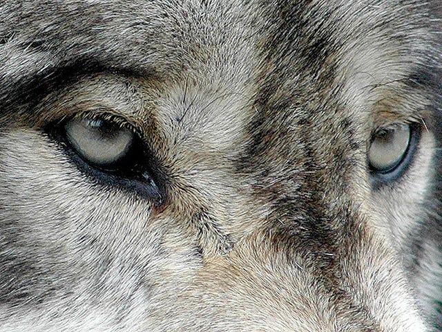 Por primera vez, los lobos que viven junto a Chernóbil han comenzado a salir de la zona de exclusión
