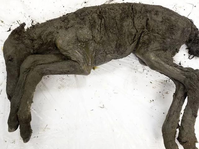 Darah Cecair Diperkecil Daripada Foal 42,000 Tahun-Lama Menemui Beku di Siberia