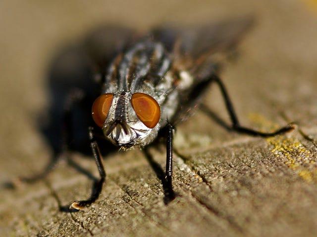 Até as moscas dentro de hospitais transportam bactérias resistentes a antibióticos