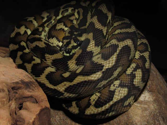 OPPO需要更多蛇