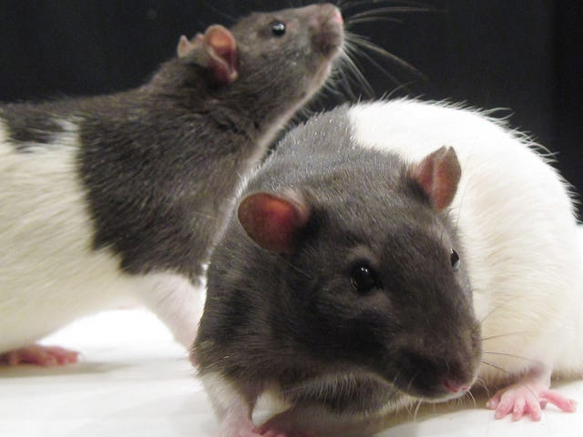En rotteundersøgelse finder ud af, at akupunktur kan behandle alkoholafhængighed ... hos rotter