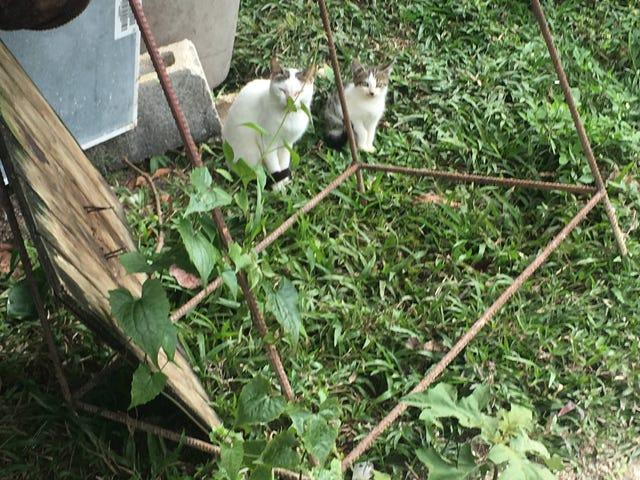 Jamaican Kitties
