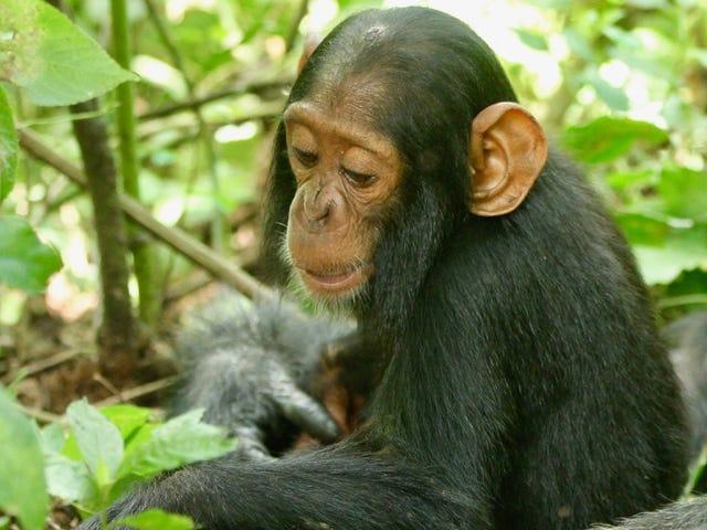 Un chimpanzé de 2 ans nommé Betty est décédé du virus du rhume commun Nous ne savions même pas que les chimpanzés pouvaient attraper