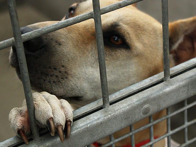 Mitä tehdä, jos Shelter Dog ei ole hyvä sovitus