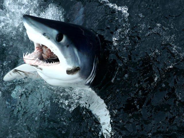 Frosne hajer vender ud af kystkystens torsk