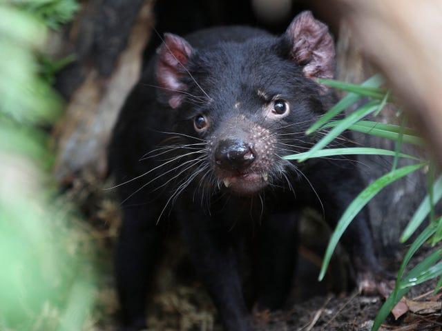 Tasmanian Devil Milk Superbugs'a Karşı Sihirli Bir Kurşun Olabilir