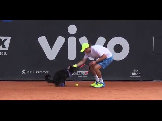 The Tennis Dogs er snapping baller og dropping Dung