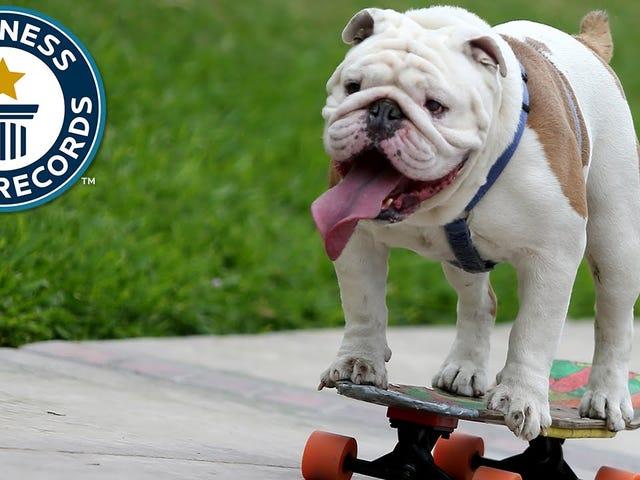 恭喜这只狗在滑板上
