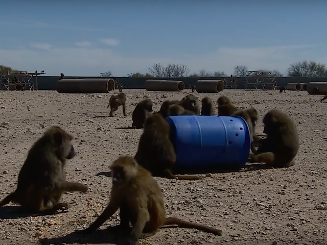 Brilliant Baboons Escape From Texas Biolab Using Their Captors' Own Barrels