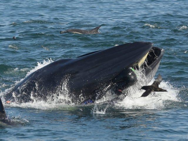 Un fotógrafo sobrevive después de que una ballena lo engullera cuando nadaba en un banco de sardinas