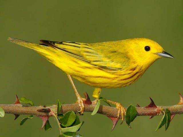 Tweet Salı: Sarı Ötleğen