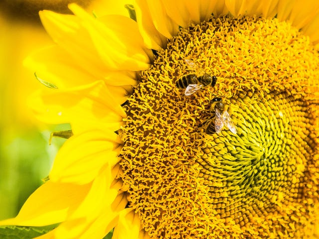 Bees Can Learn Symbols Associated With Counting, New Experiment Suggests