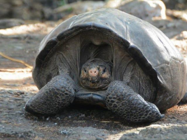 Esta tortuga gigante ha aparecido en las islas Galápagos 113 años después de la última vez que alguien la vio