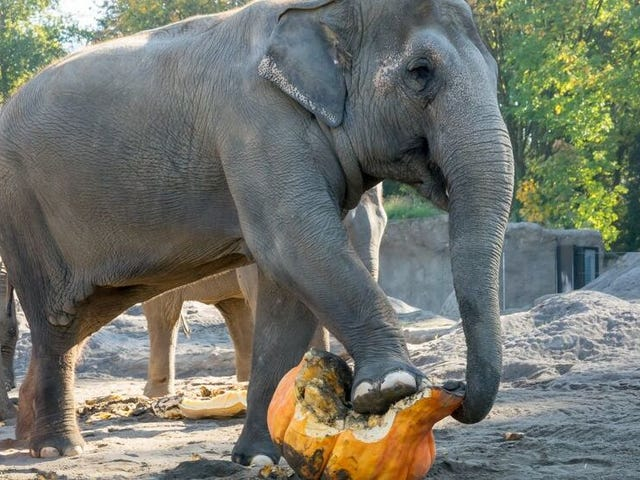 Watch These Serene Elephants Smash the Shit Out of Some Gourds