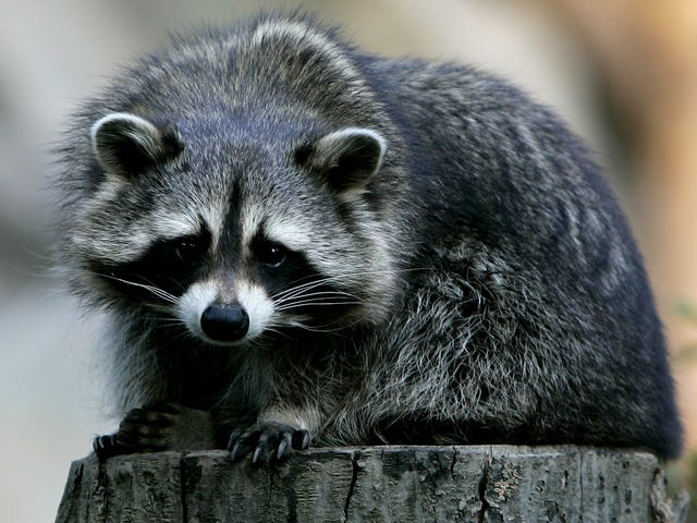 Rabid Raccoon ei ole ottelu Fearless Maine Womanille