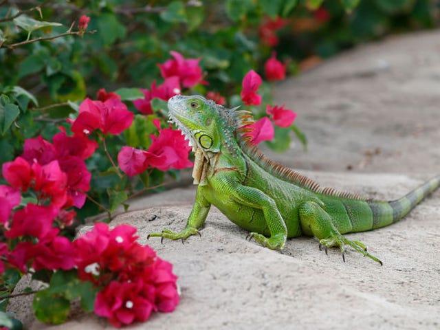 Hay tantas iguanas en Florida que los ciudadanos tienen permiso para matarlas sin control