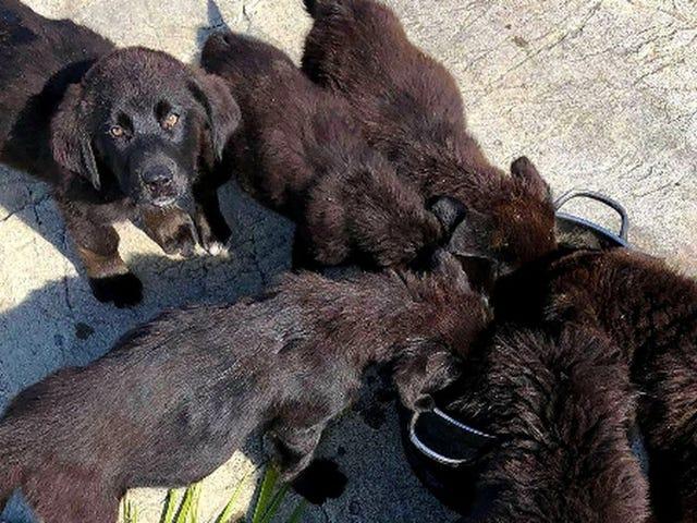 Nadie sabe exactamente cómo han acabado estos siete cachorros de Labrador en una isla desierta de Canadá