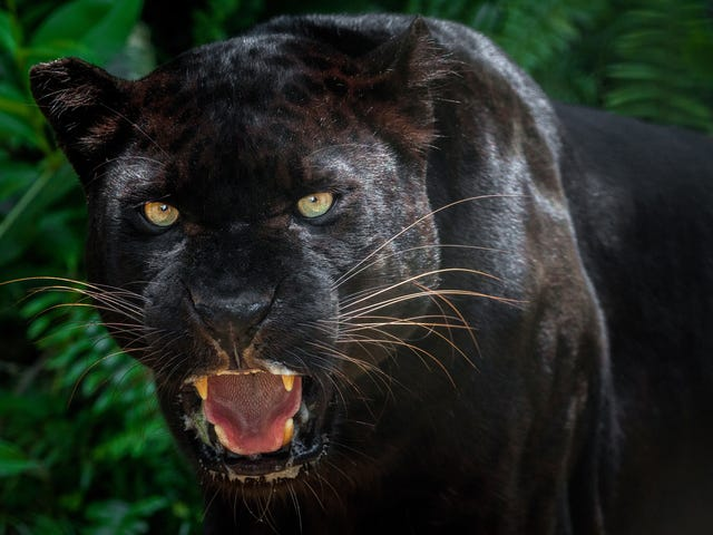 T'Challa's Cousins? Scientists Photograph Rare Black Leopard for First Time in Over 100 Years