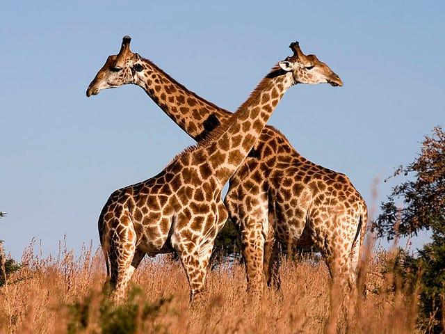 Le giraffe sono dirette verso l'estinzione