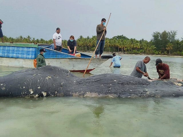 Dead Sperm Whale Washes Up With 150 Plastic Cups in Its Stomach