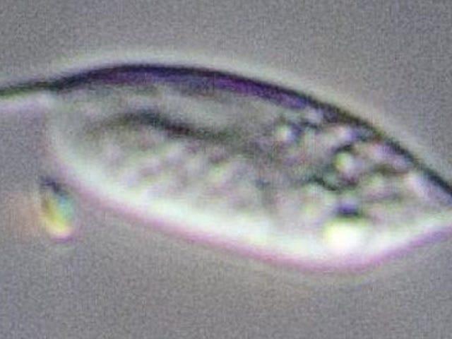 Αυτό το μικρόβιο θα μπορούσε να είναι το πιο παραγωγικό ποντίκι του πλανήτη