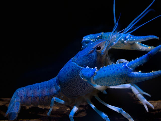 """Maine chefs spare life of blue lobster that was""""too interesting to cook"""""""